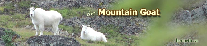 Mountain goats near Smithers BC Canada